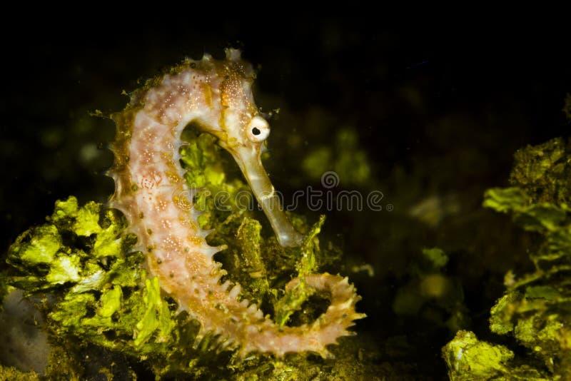 Histrix espinhoso Ambon do hipocampo do cavalo marinho, Indonésia imagem de stock royalty free