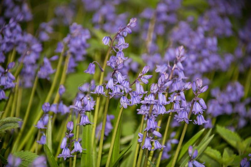 Hiszpańscy Bluebells, Hyacinthoides hispanica w wiośnie, zdjęcie royalty free