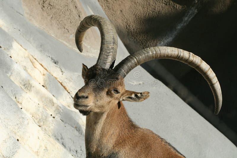 hiszpańska ibex zdjęcie stock