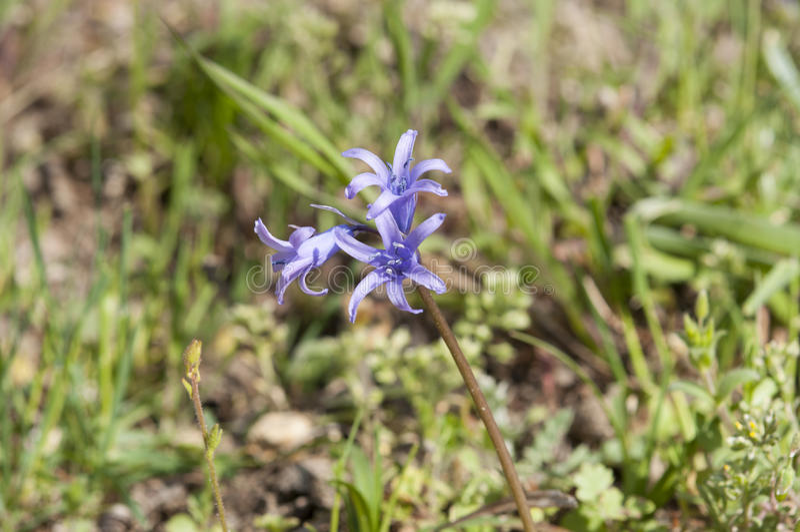 Hiszpański bluebell, Hyacinthoides hispanica obraz stock