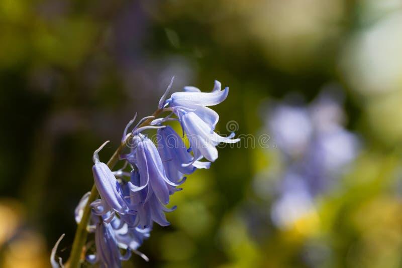 Hiszpański bluebell hyacinthoides hispanica obrazy stock