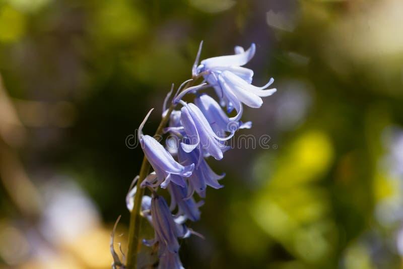 Hiszpański bluebell hyacinthoides hispanica obraz stock
