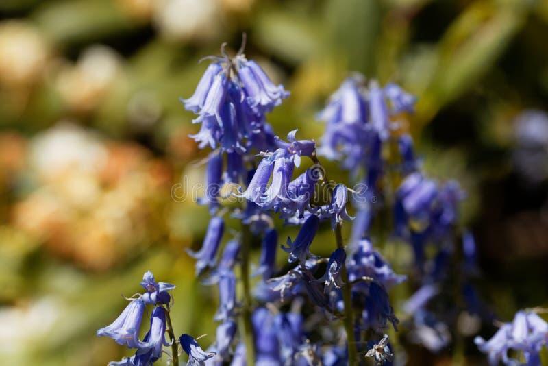 Hiszpański bluebell hyacinthoides hispanica obraz royalty free