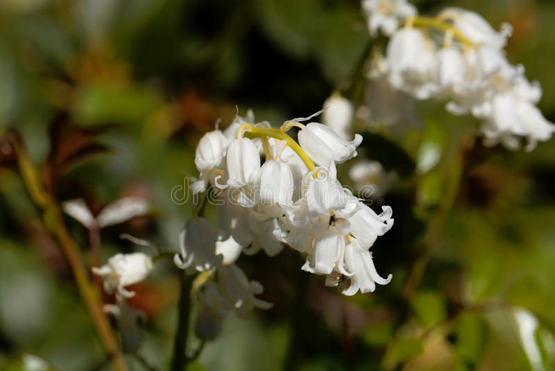 Hiszpański bluebell hyacinthoides hispanica fotografia stock