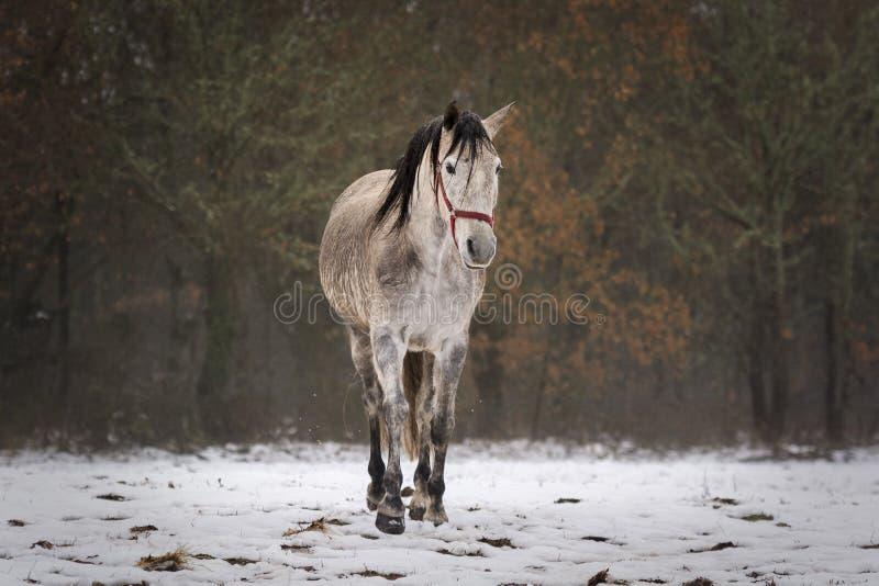 Hiszpański koń w śniegu w polu fotografia stock