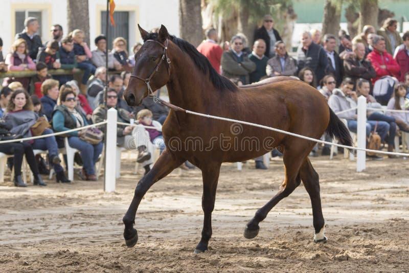 Hiszpański koński roczniak w prezentaci w Jerez obraz royalty free