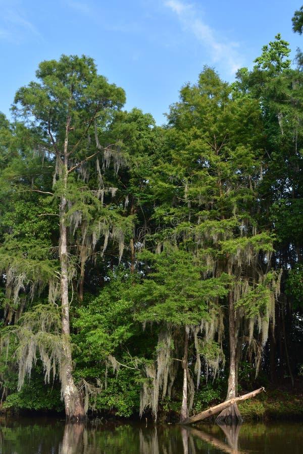Hiszpański mech Drapujący Wzdłuż drzew na Bagiennych Luizjana brzeg zdjęcie royalty free
