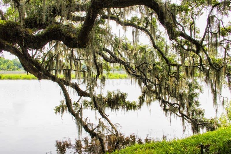 Hiszpański mech przy Magnoliową plantacją w Charleston Południowa Karolina obraz stock