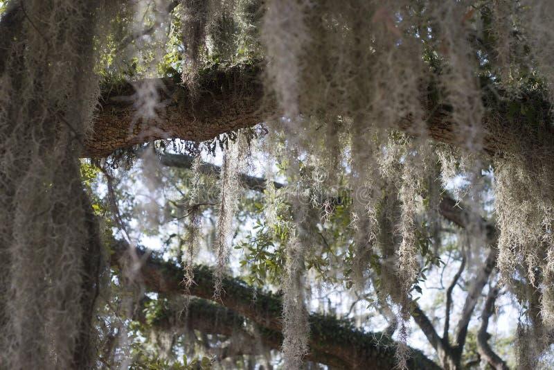 hiszpański moss fotografia stock