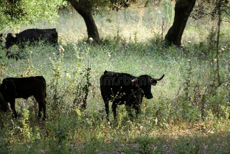 Hiszpańskie krowy w ponurości pole zdjęcia royalty free