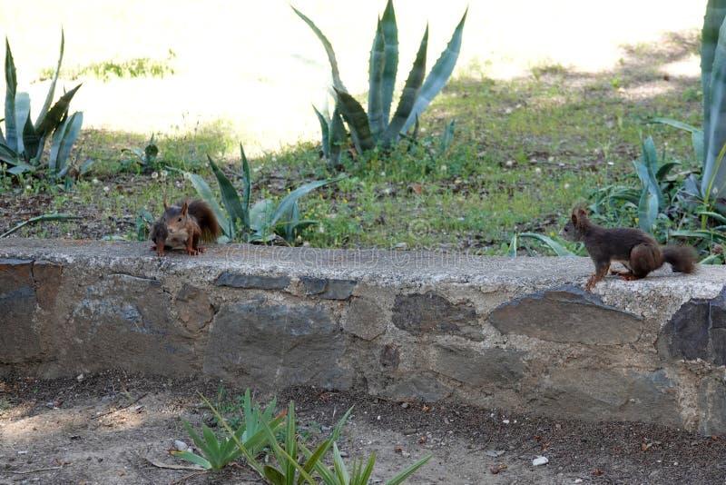Hiszpańskie wiewiórki w Malaga w Andalusia, Hiszpania obrazy royalty free
