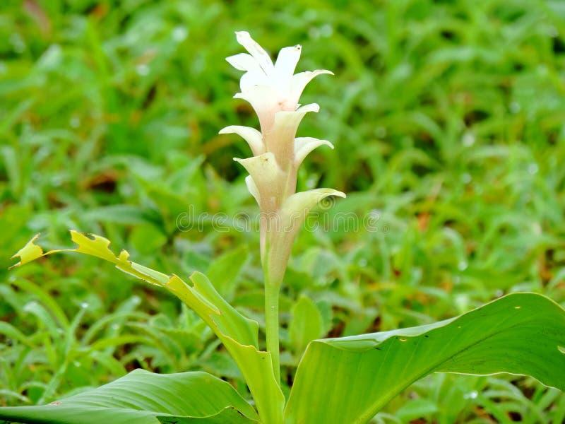 Hitchenia Caulina, art av blomman grundar i den Kaas platån royaltyfria foton