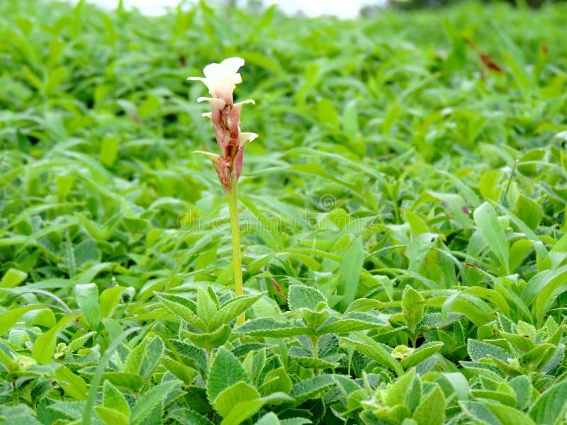 Hitchenia Caulina, des espèces de fleur a trouvé dans le plateau de Kaas photos stock