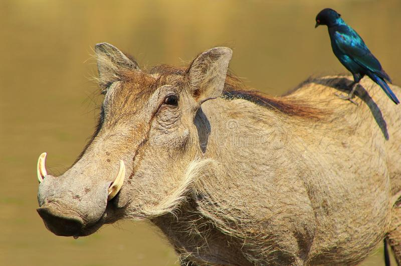 Hitching a ride - Warthog and Black-eared Starling. A Blackeared Starling hitching a ride, and cleaning, an adult female Warthog. Photo taken on a game ranch in stock images