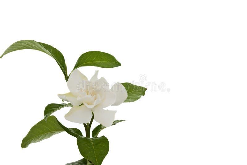 Hite common gardenia orcape jasmine flower stock photo