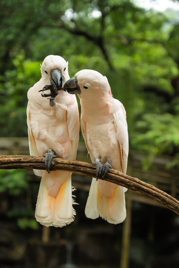 Hite Pair lovebirds stock photography