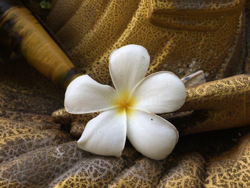 Hite-Plumeria setzte sich an Hand von der goldenen Statue, weiße Blume stockfotografie