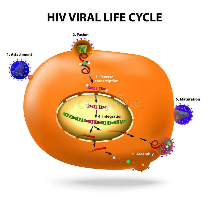 HIV replicatiecyclus vector illustratie