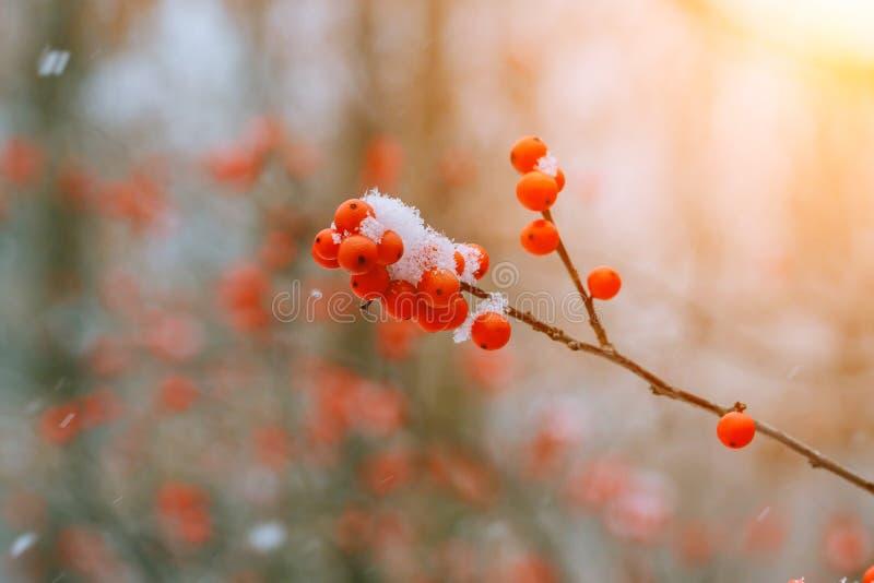 Hiver ashberry sous la neige photos libres de droits