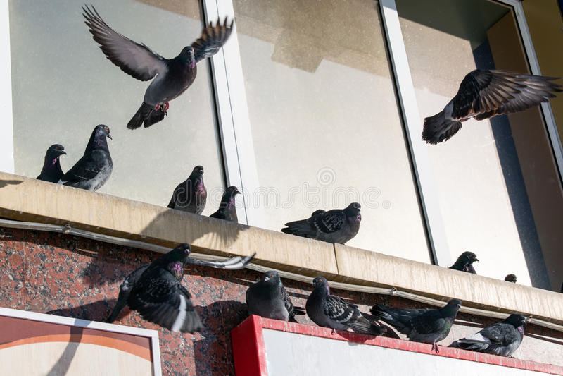 Hiver de colombes d'oiseaux se reposant sur les gouttières de la maison photo stock