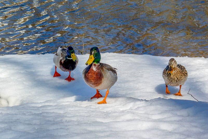 Hiver de famille de trois canards sur la neige près de l'eau photo libre de droits