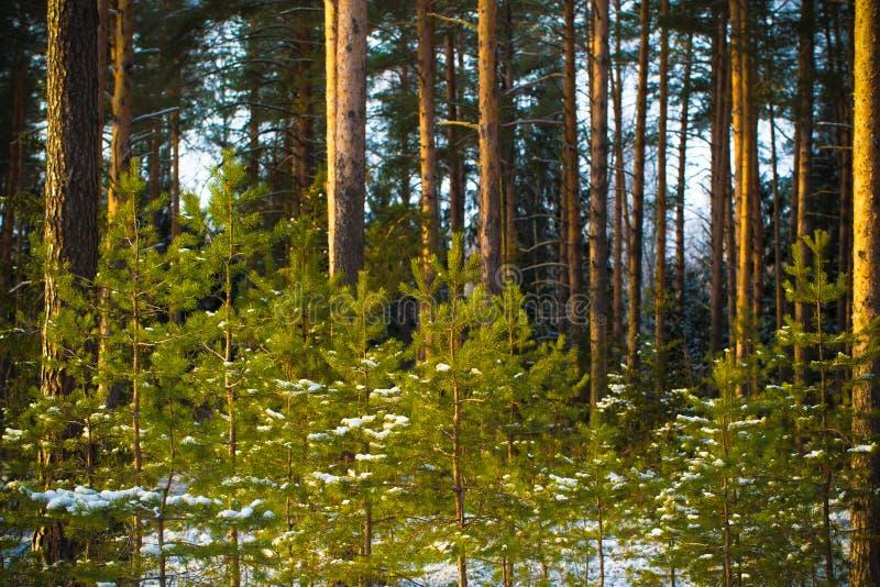 Hiver de Milou au foyer sélectif de forêt de pin r photo stock