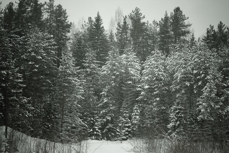 Hiver de Milou dans la forêt modifiée la tonalité photos stock