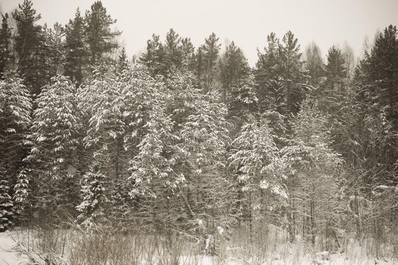 Hiver de Milou dans la forêt modifiée la tonalité photographie stock libre de droits