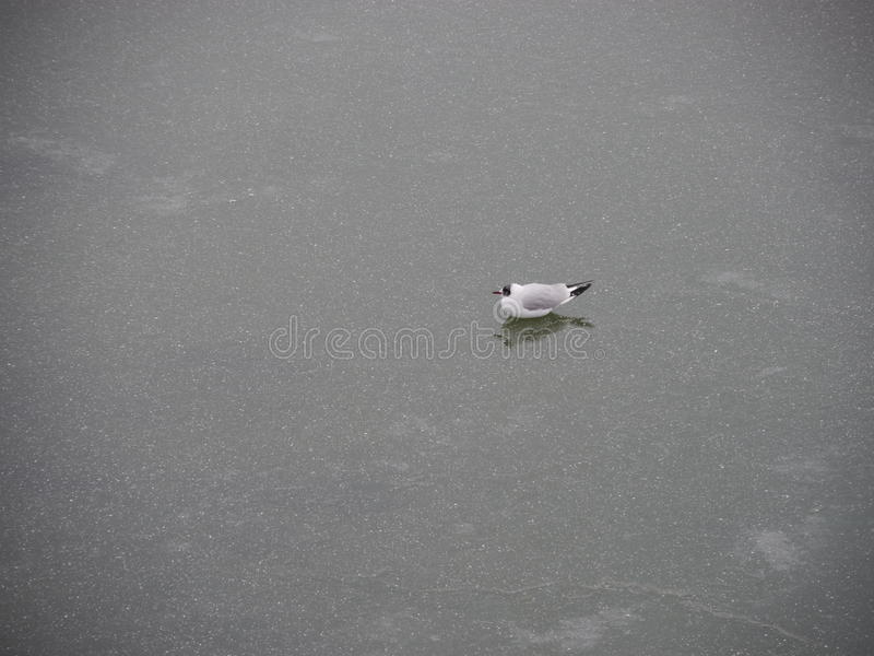 Hiver de mouette de glace image libre de droits