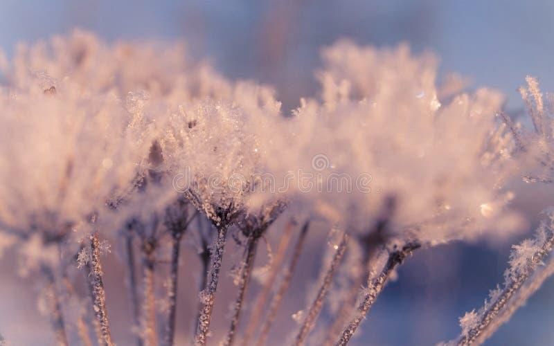 Hiver doux de rose en pastel dans l'herbe congelée images stock
