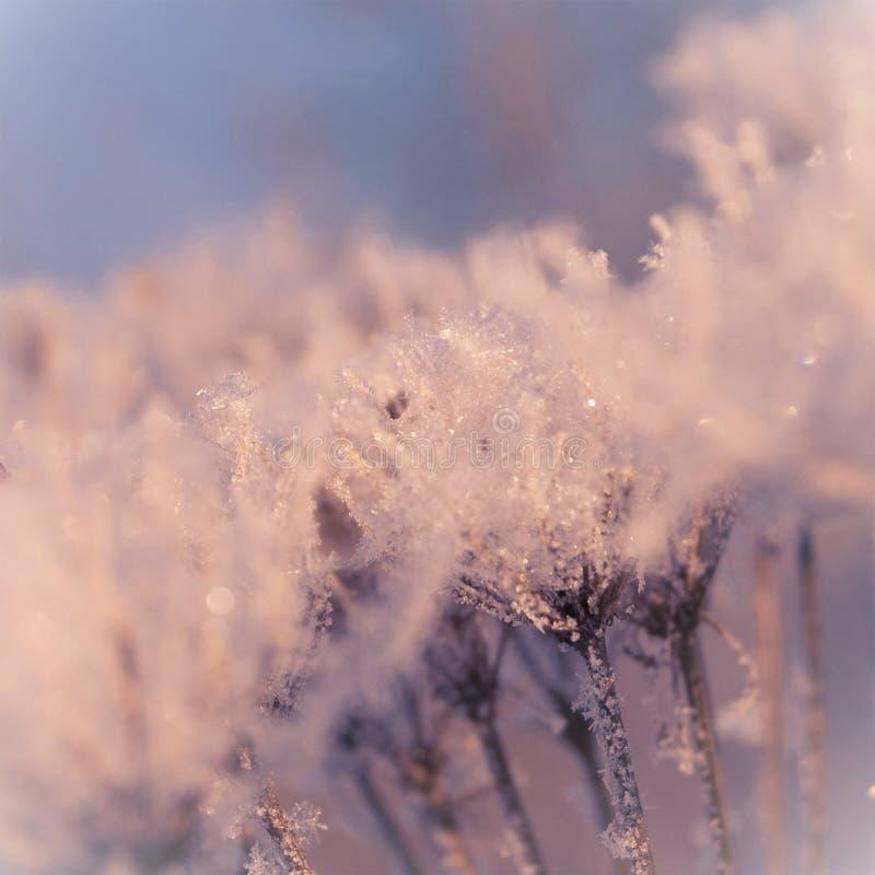 Hiver doux de rose en pastel dans l'herbe congelée image libre de droits