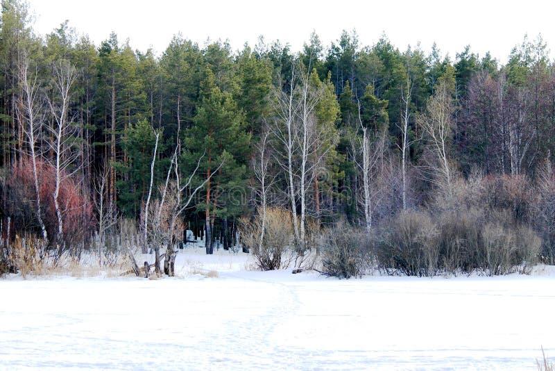 Hiver, forêt, neige, pins, empreintes de pas dans la neige, photo libre de droits