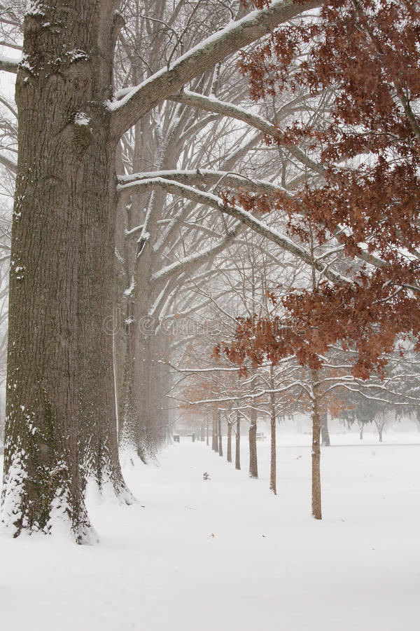 Hiver : Grands et petits chênes couverts dans la neige photos stock