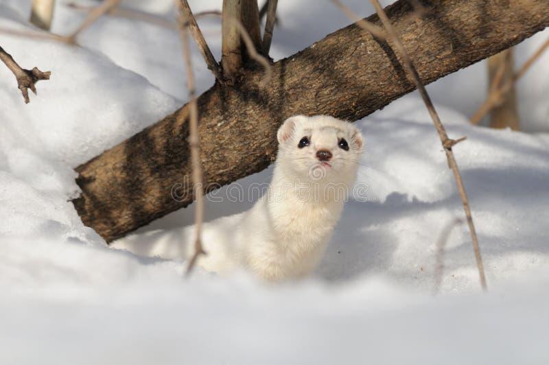 Hiver moins belette dans le terrier de neige images stock