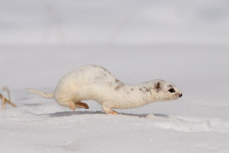 Hiver moins belette fonctionnant dans la neige photographie stock