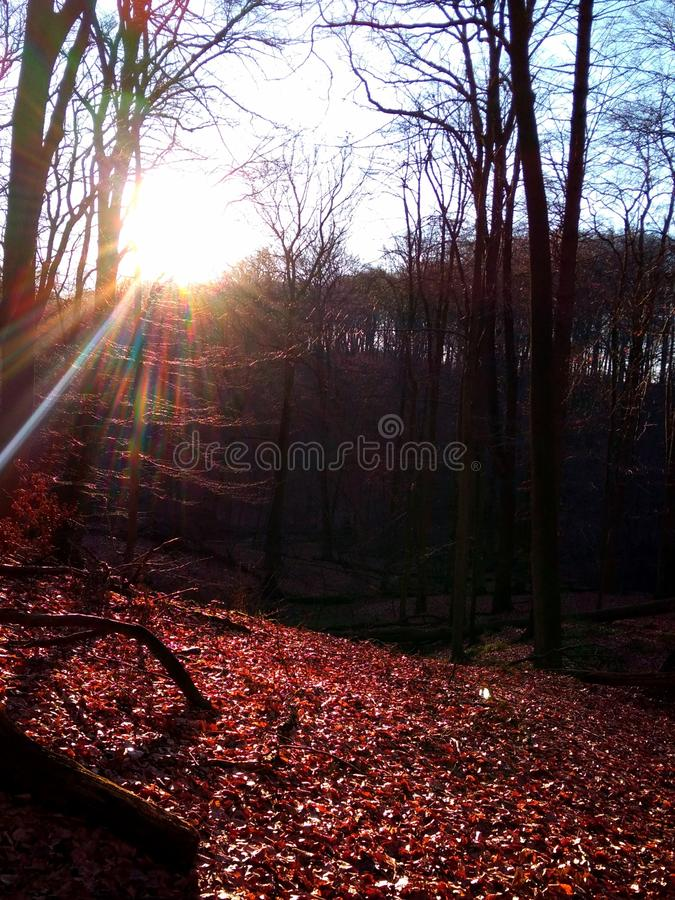 Hiver rouge Forrest image stock