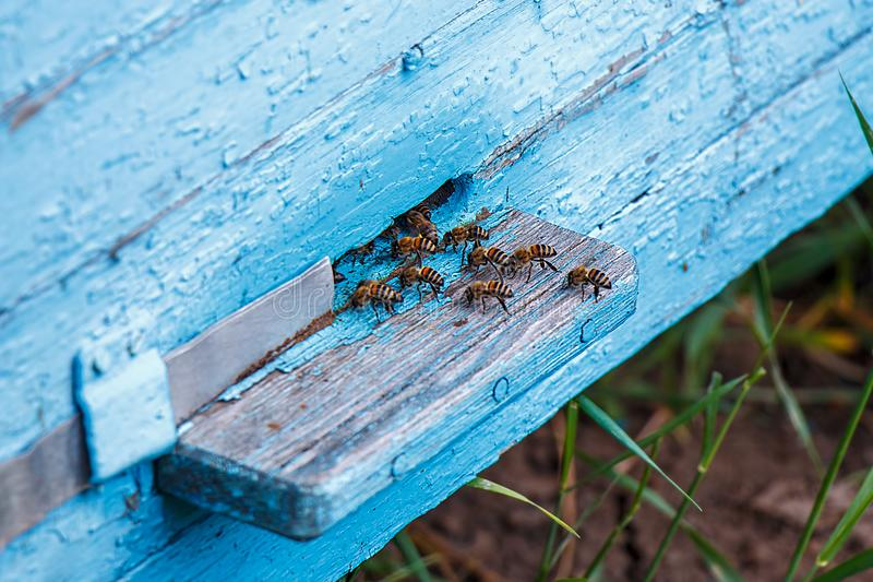 Hives in an apiary with bees flying to the landing boards. Apiculture stock photography