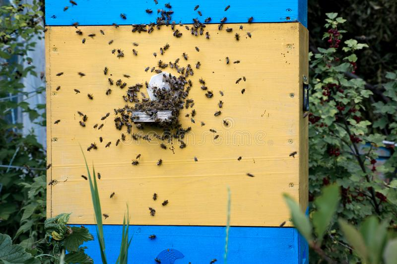 Hives in an apiary with bees flying to the landing boards in a g stock photos