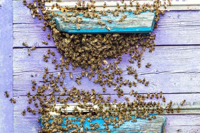 Hives in an apiary with bees flying to the landing boards in a green garden. Honey bee drone trying to enter the hive on a landing royalty free stock image