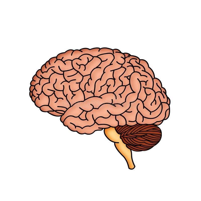 hjärna stock illustrationer