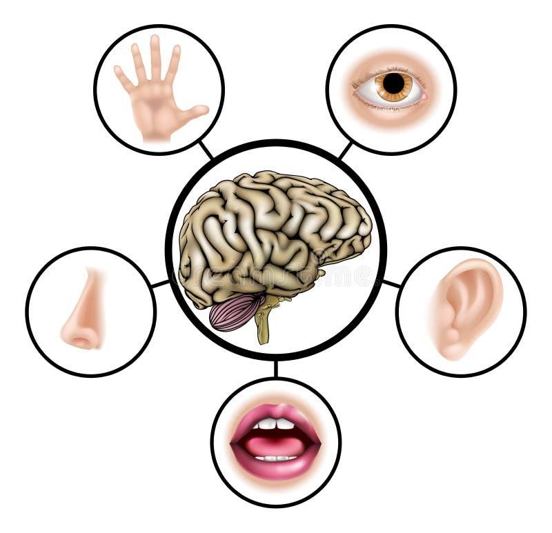 Hjärna för fem avkänningar stock illustrationer