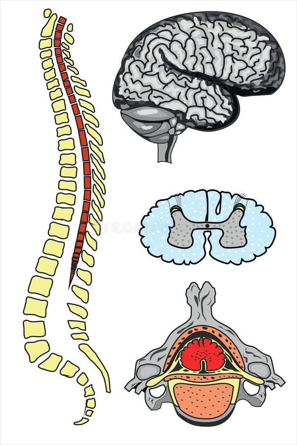 Hjärna och rygg för vektor mänsklig royaltyfri illustrationer