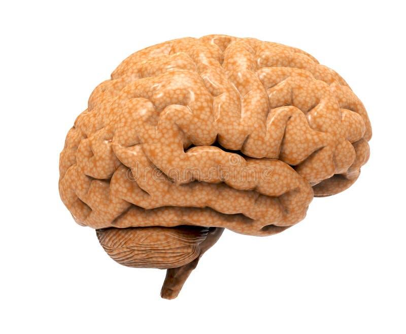 Hjärna som isoleras på vit royaltyfria foton