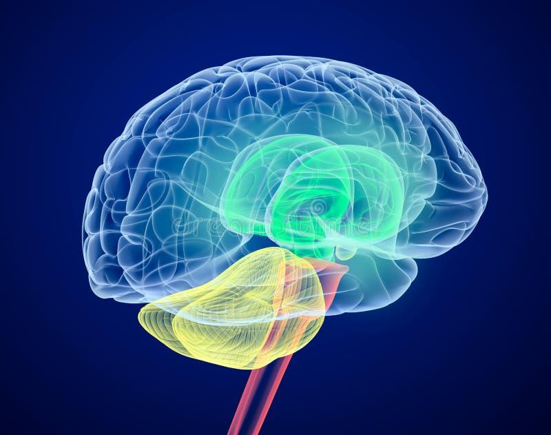 hjärnan colors olika lober vektor illustrationer