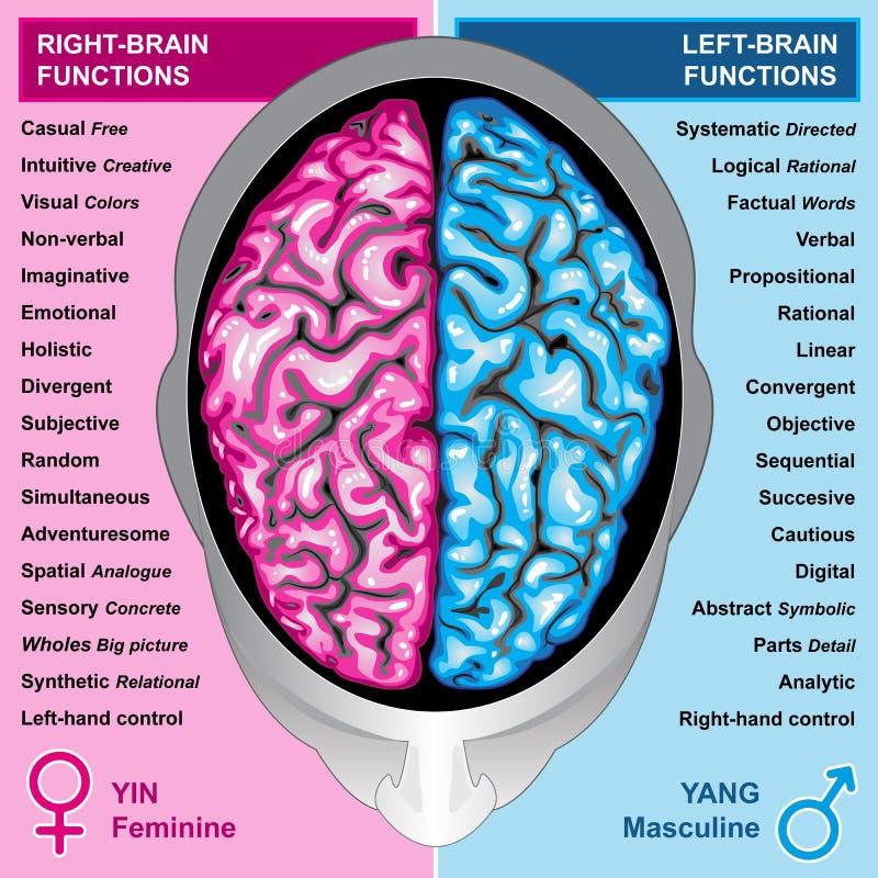 hjärnan fungerar mänskligt vänstert höger sida vektor illustrationer