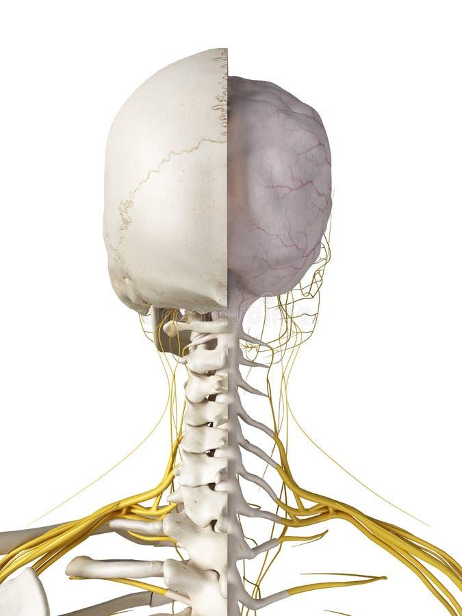 Hjärnan och nerverna vektor illustrationer