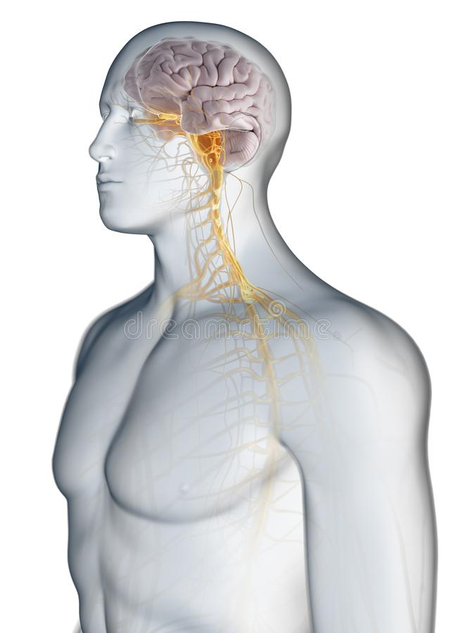 Hjärnan och nervsystemet stock illustrationer