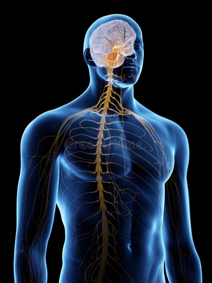 Hjärnan och nervsystemet vektor illustrationer