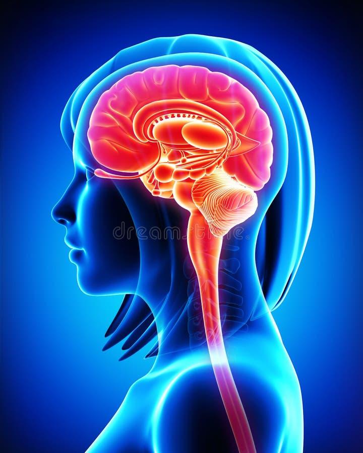 Hjärnanatomi - tvärsnitt royaltyfri illustrationer