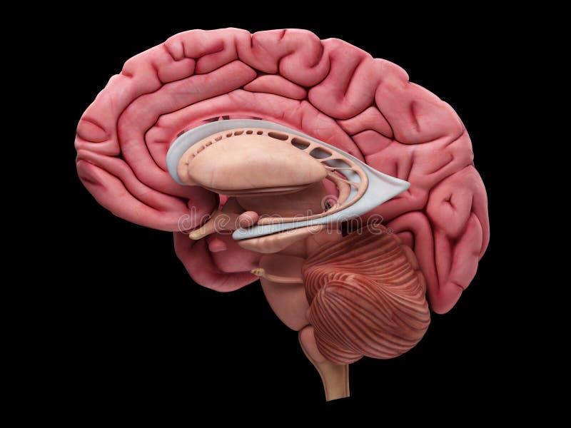 Hjärnanatomin stock illustrationer